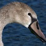 Mute Swan – Nest 2014 Update 18