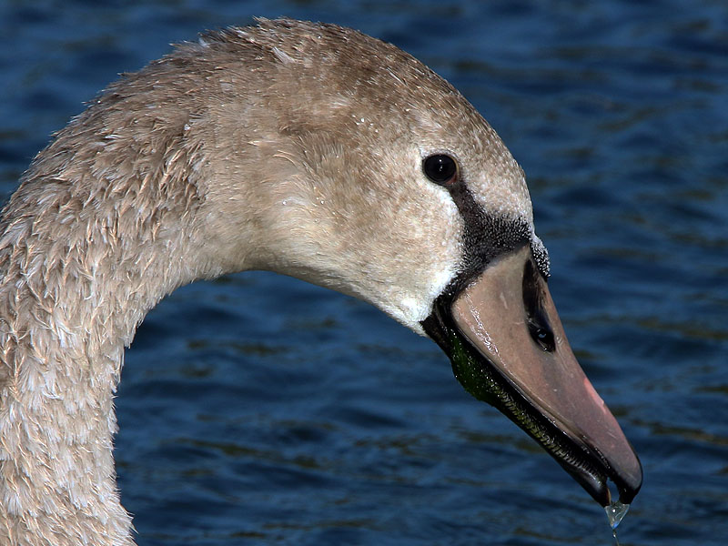 A closer look at the young swan.