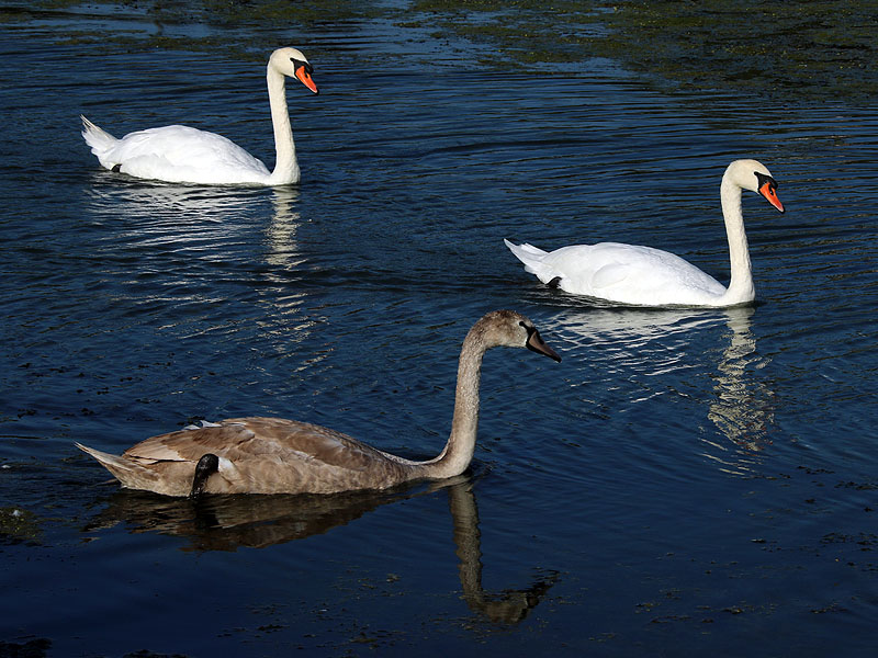 The young swan is already larger than his mother.