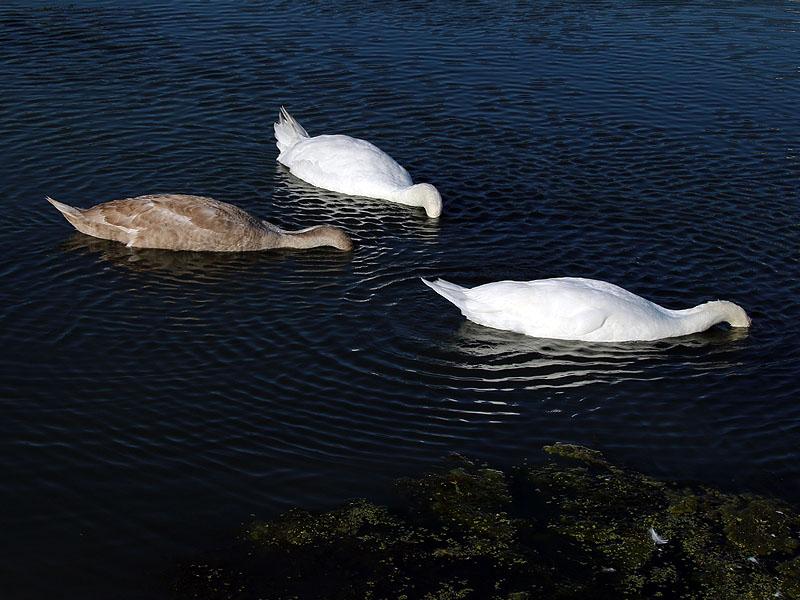 Probing under water for aquatic vegetation.
