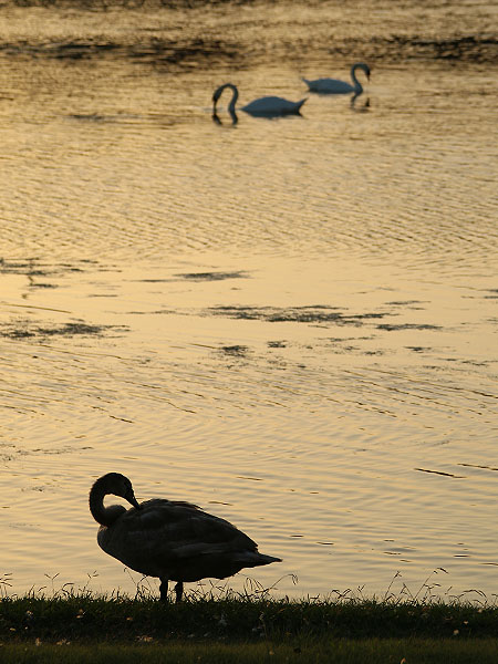 The adults swans are permitting the young cygnet more and more independence.