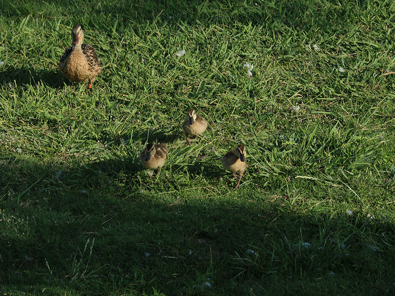 Young Mallards come running.