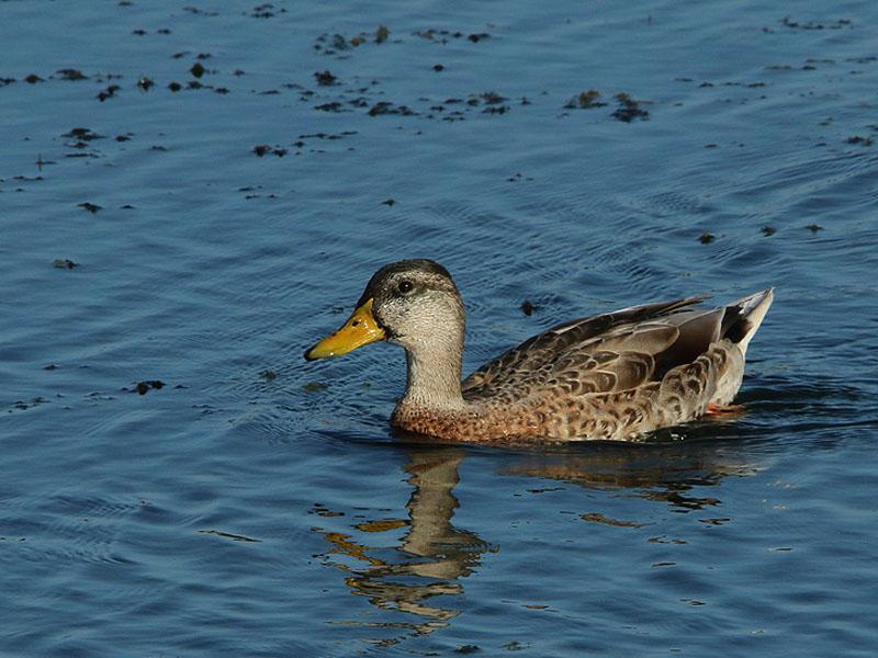 A male Mallard still in his eclipse plumage.