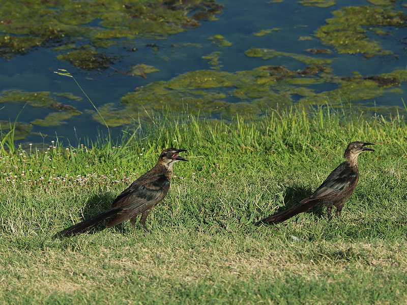 A juvenile Great-tailed Grackle follows his mother demanding to be fed.