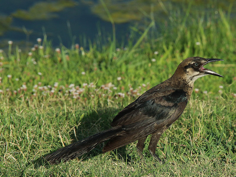 A juvenile Great-tailed Grackle.