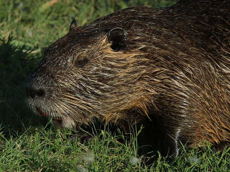 A large Nutria just emerging from the water.