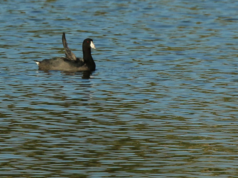 An American Coot showing sow disfigurement to one of its wings.
