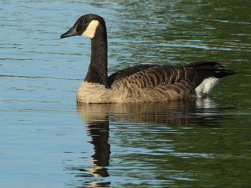 A handsome Canada Goose.