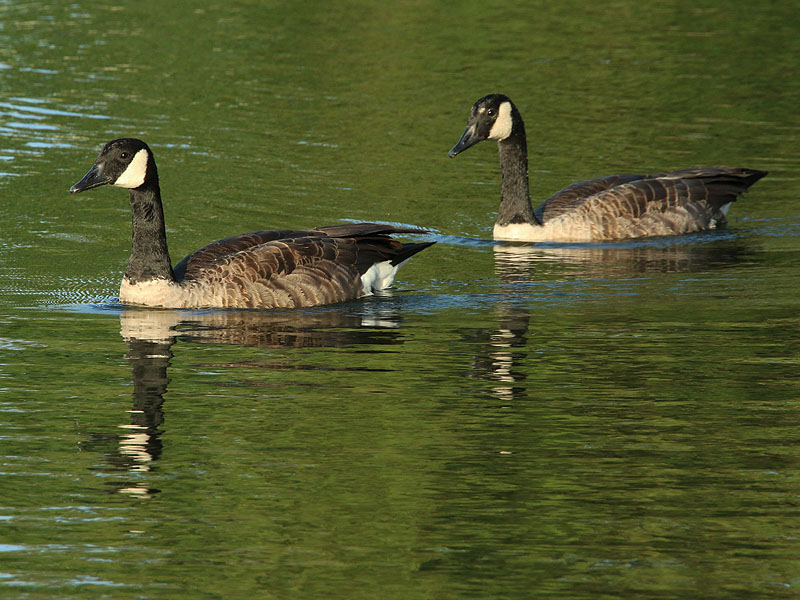 Canada Geese are beautiful birds.