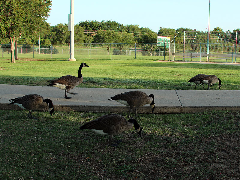 Canada Geese enjoy feeding on lawn grasses.