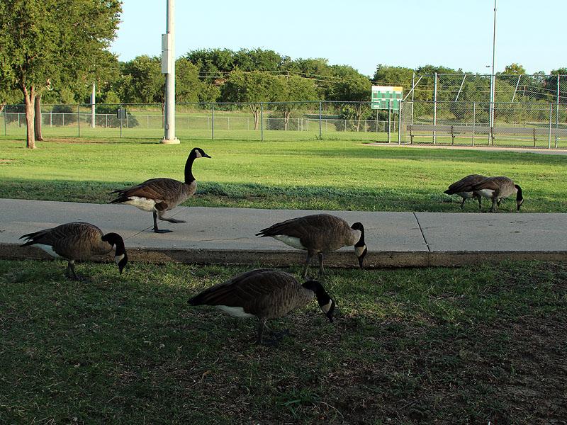 Canada Geese enjoy feeding on lawn grasses.
