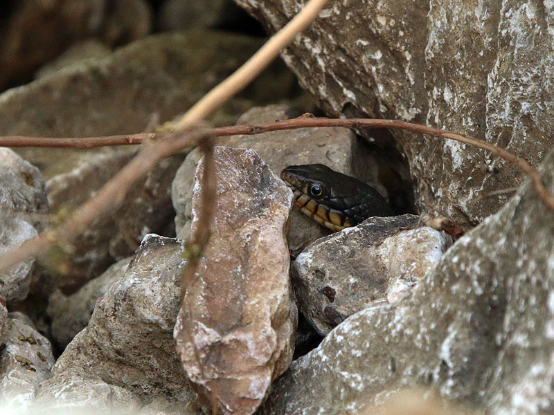 Another water snake hiding just out of the water.