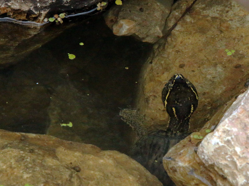 Also in the pool was an Eastern Musk Turtle.