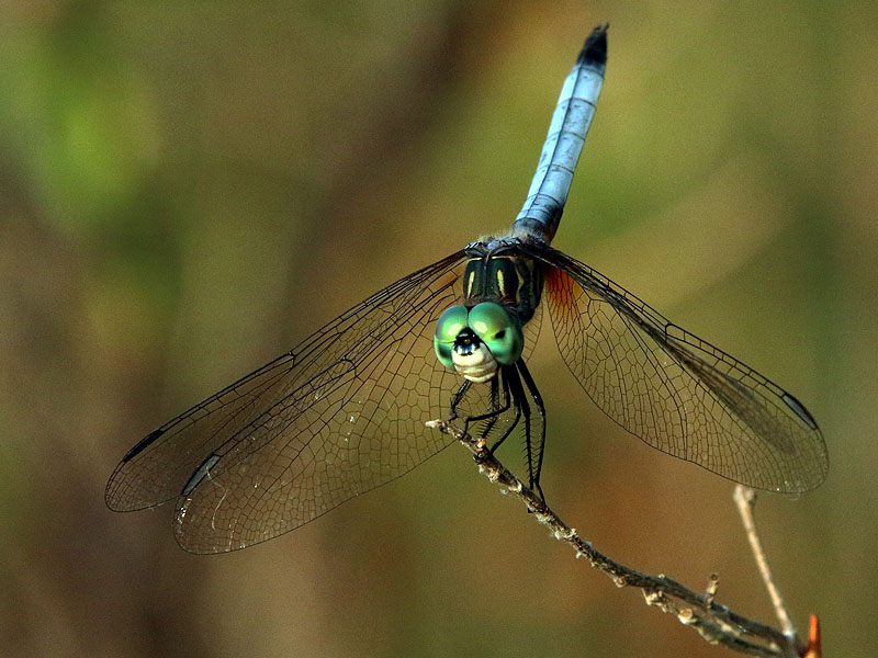 A Blue Dasher.
