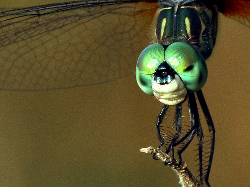A closer look at the male Blue Dasher.