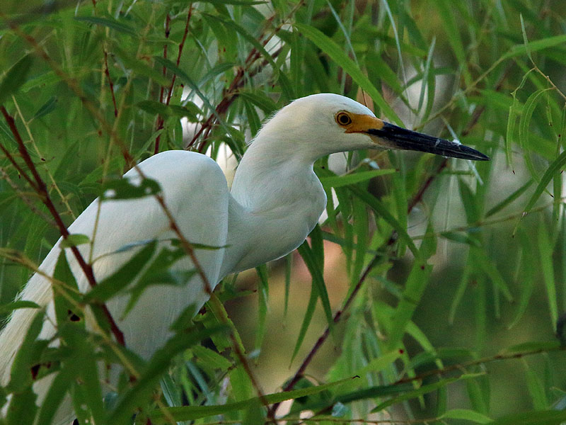 A Snowy Egret in the willows.