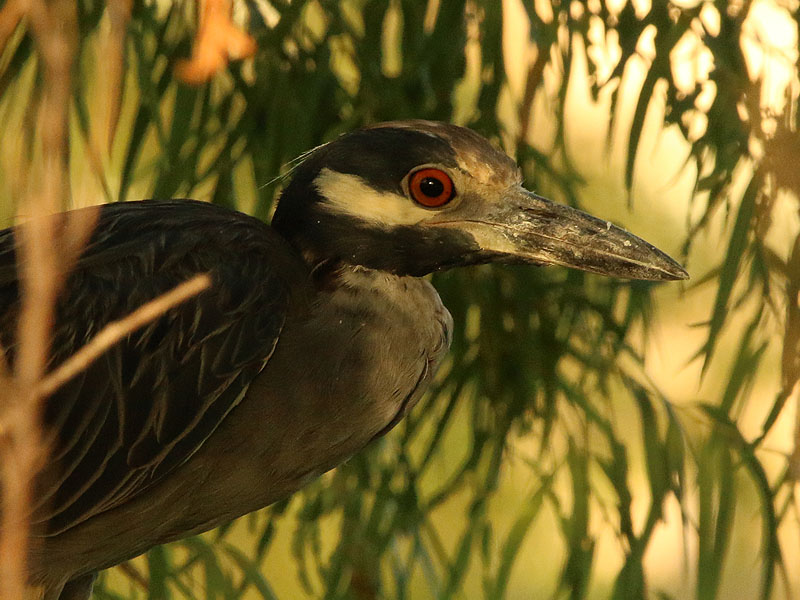 Several Yellow-crowned Night Herons were present.