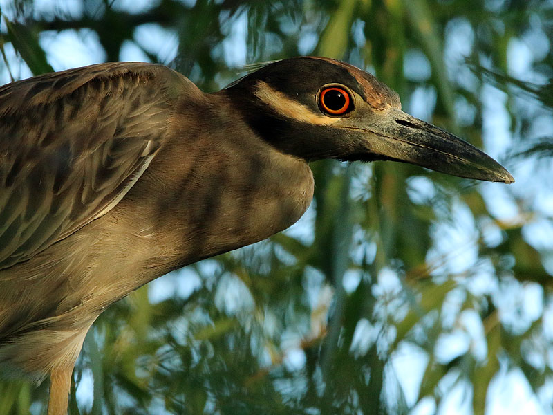 A second Yellow-crowned Night Heron.