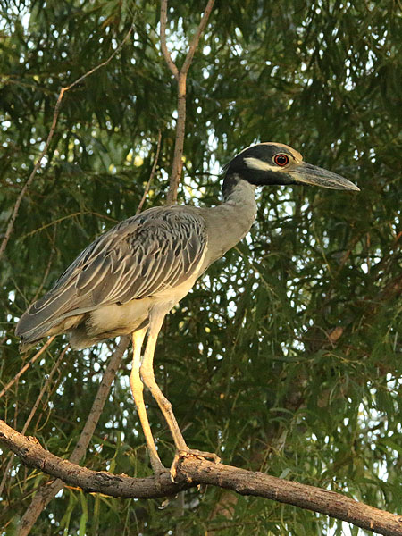 A third heron was located just a few trees down from the others.