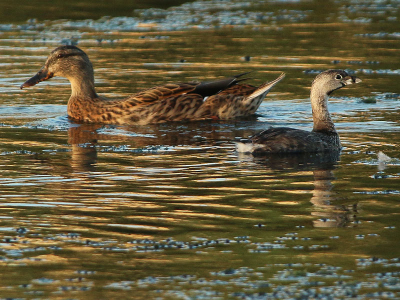 A nice size comparison between the Pied-billed Grebe and a female Mallard.