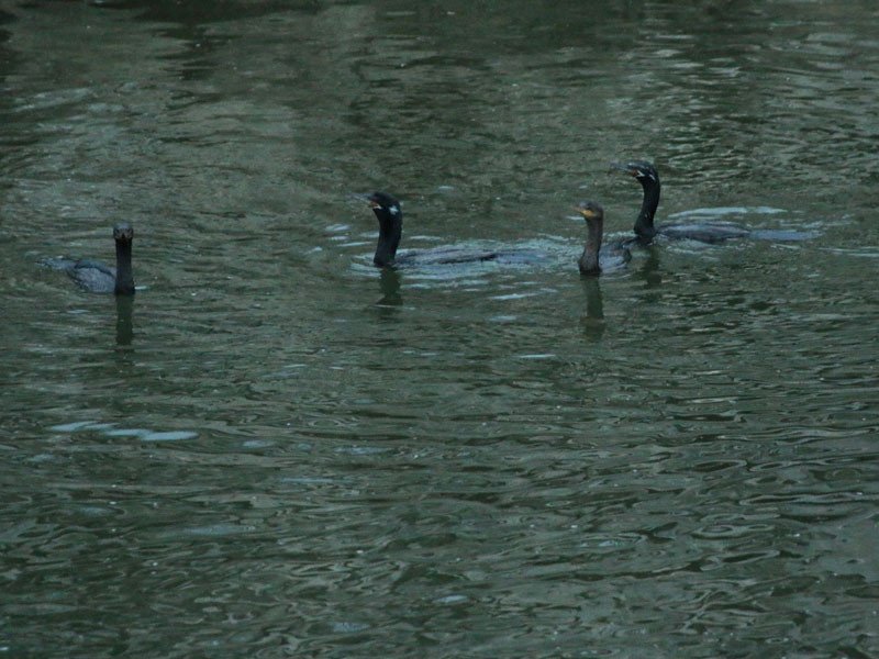 A predawn photograph of two adult and two juvenile Neotropic Cormorants.