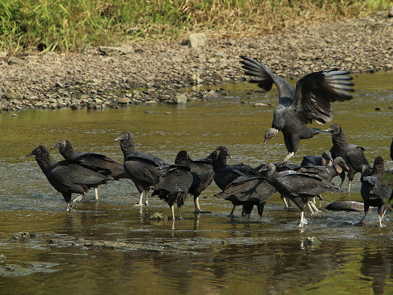 Black Vultures feeding on dead fish.