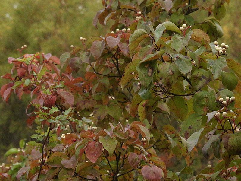 Autumn Dogwoods.