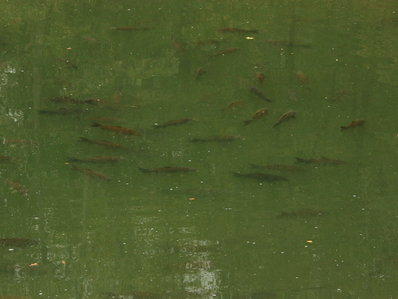 A hundred or more Common Carp crowded together in places where the water was still relatively deep.