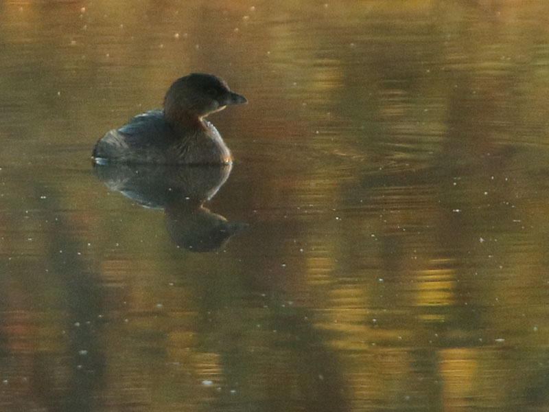A Pied-billed Grebe on a fall palette.