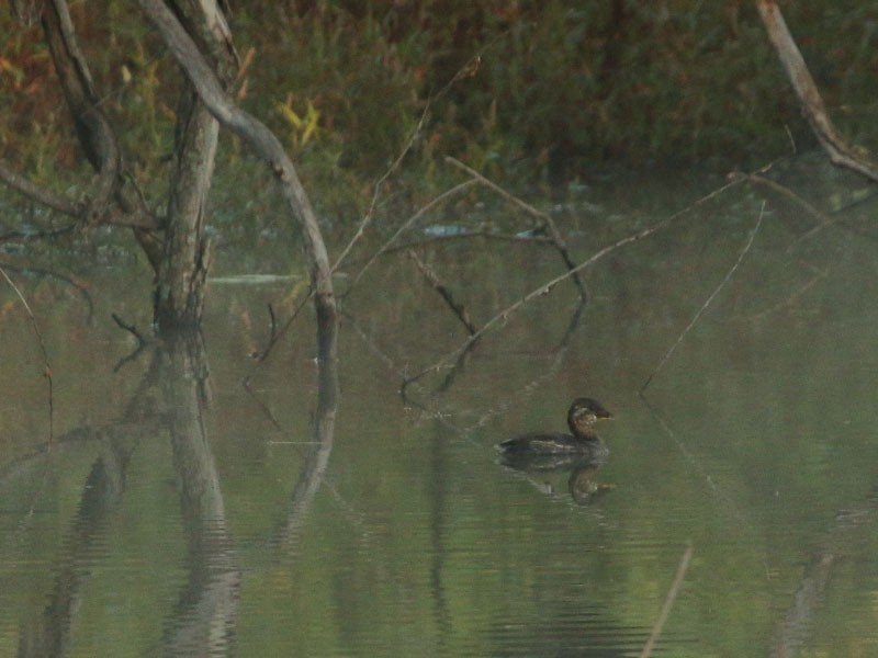 A grebe in the marsh.