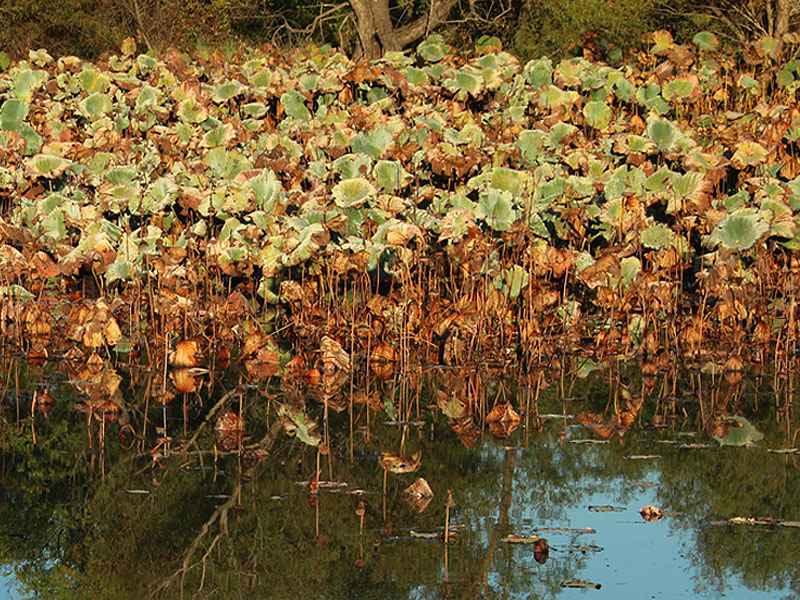 Autumn lily pads.