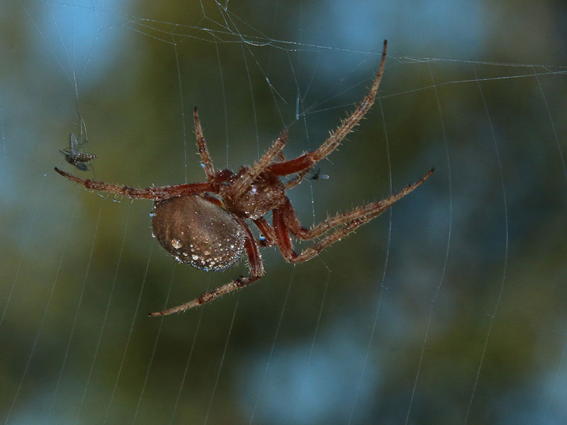A Barn Spider with prey.