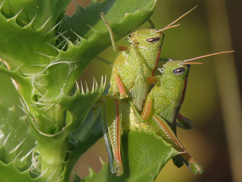 Showy Grasshoppers mating.