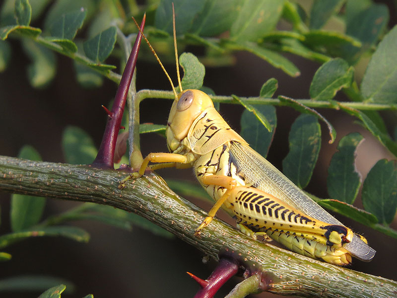 These grasshoppers are absolutely everywhere in mid summer.