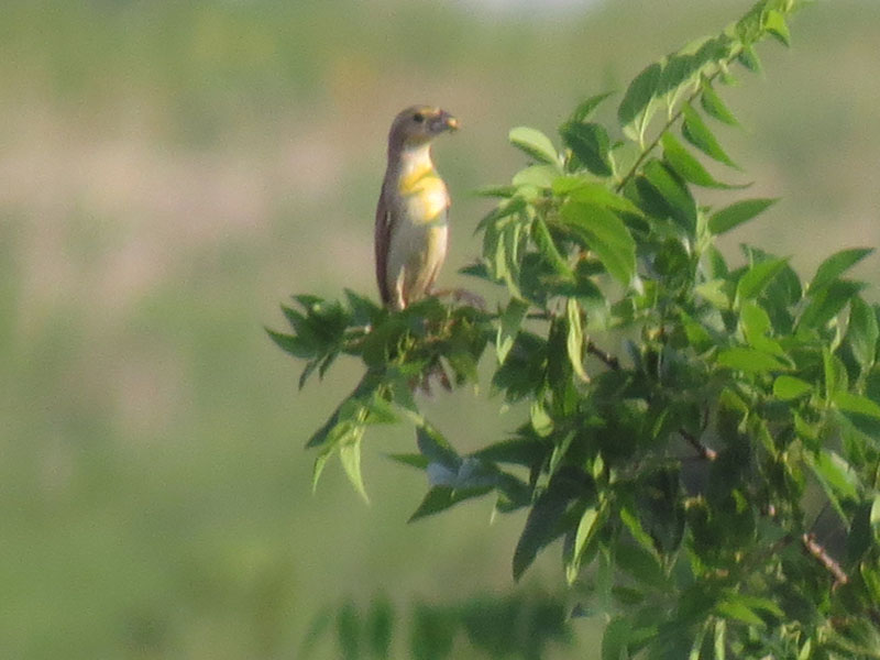 A female Dickcissel as seen from a great distance.