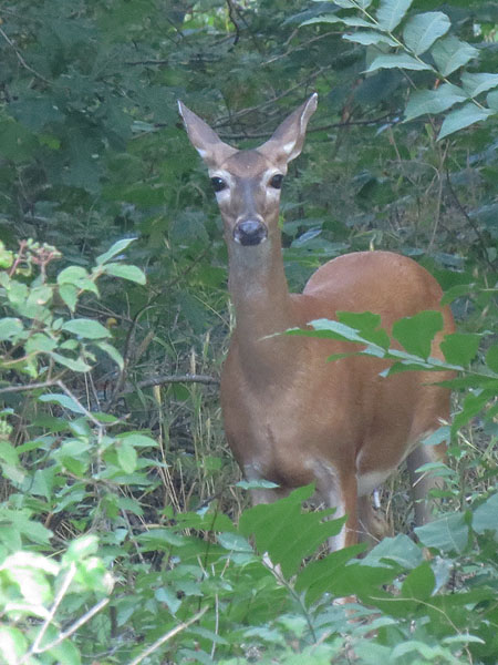 A White-tailed Deer emerging from the woods.