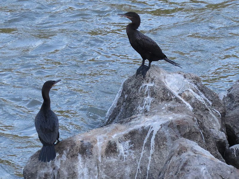 Neotropic Cormorants congregating by the river.