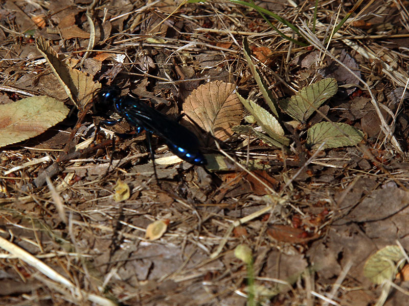 A blue mud dauber of some kind.