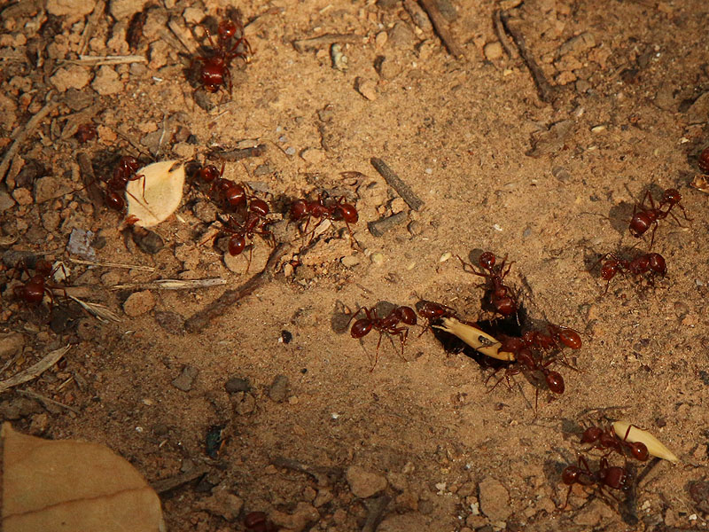 Harvester Ants carrying seeds back to their mound.