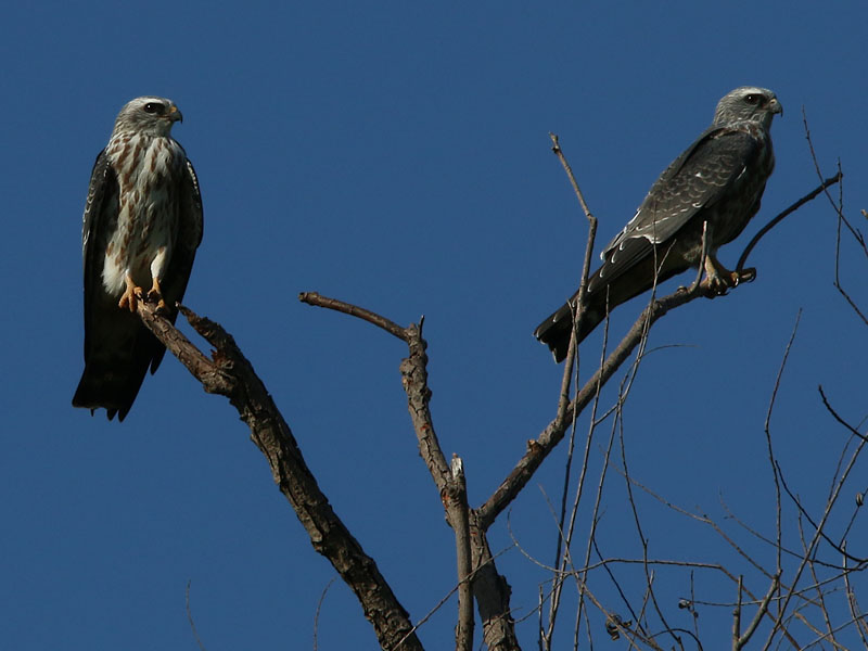 A pair of juvenile Mississippi Kites.