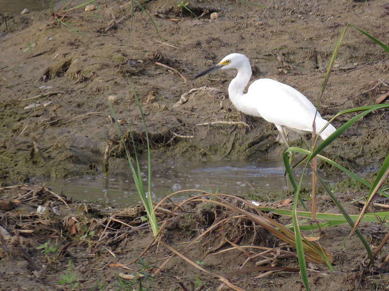 A resourceful Snowy Egret fishing in a small puddle of water.