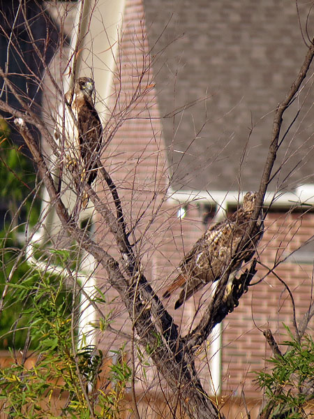 A pair of Red-tailed Hawks near a Plano subdivision.