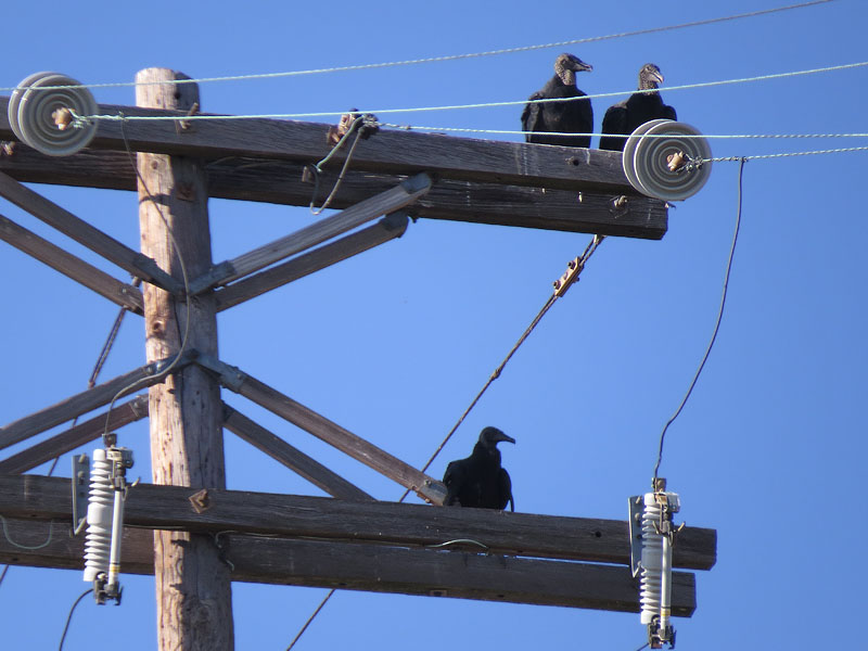 Black Vultures congregating on a utility pole.