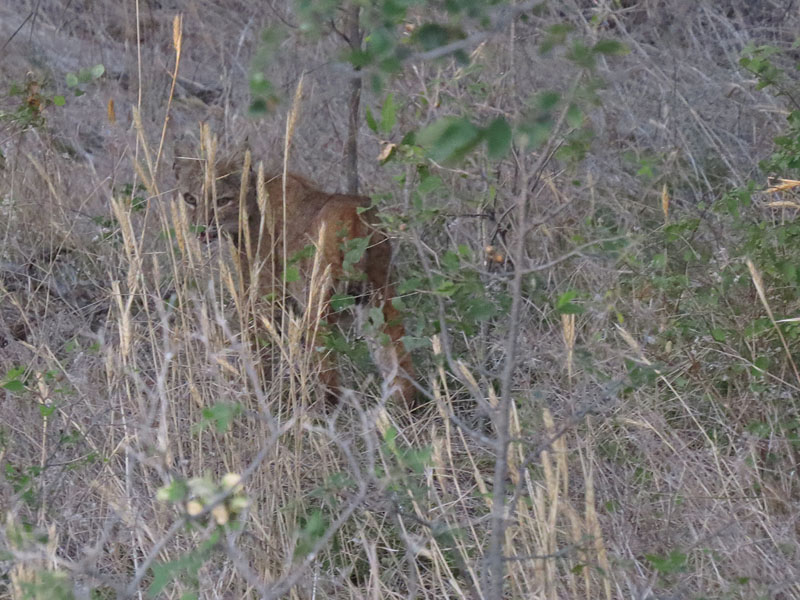 The same Bobcat checking to see if I were following.  I wasn't!