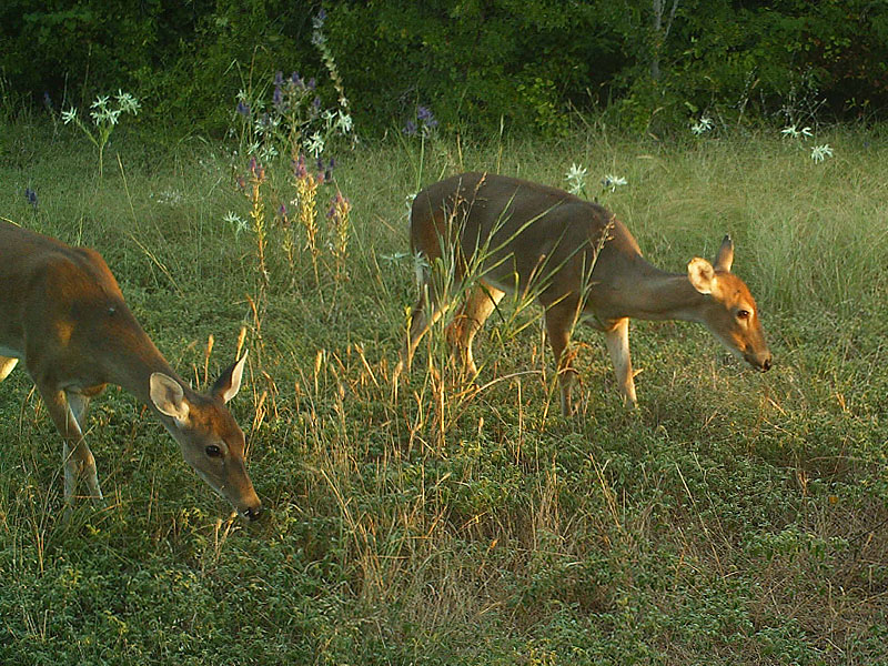 A pair of young deer feeding in the early morning light.