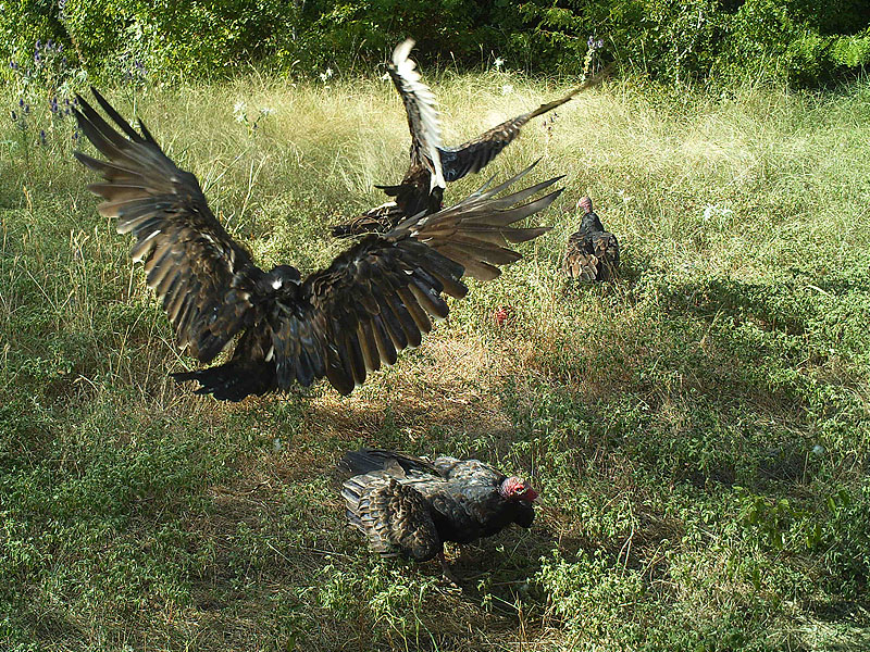 Turkey Vultures bickering over the remains of a carcass.