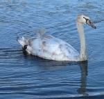 Mute Swan – Nest 2014 Update 19