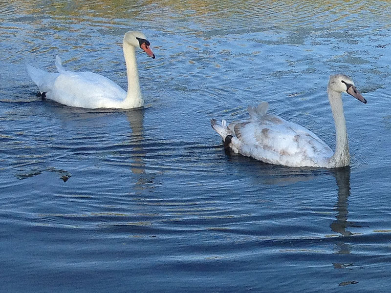 The cygnet with his mother.
