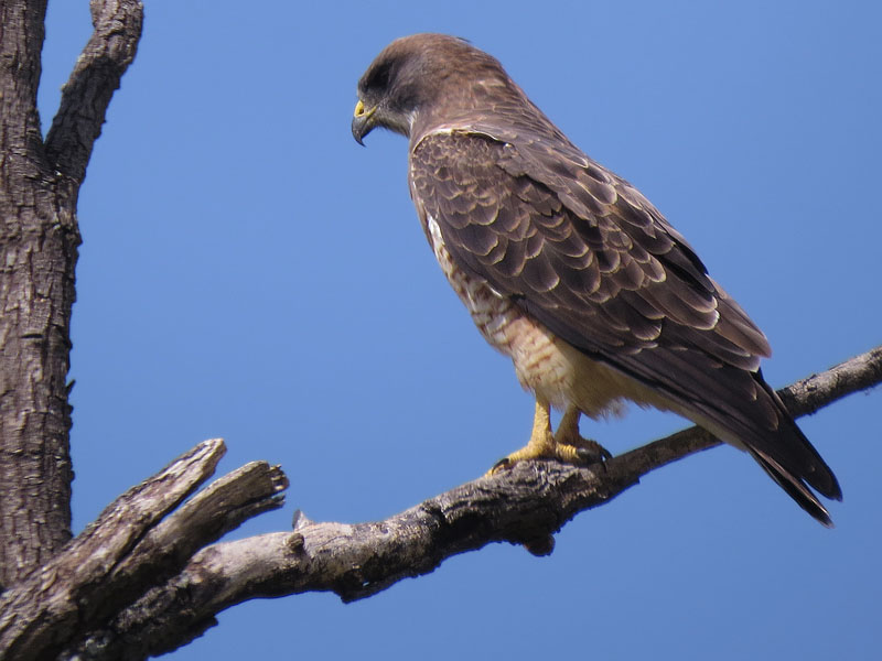 A perched Swainson's Hawk.  Photograph by Nick Jackson.