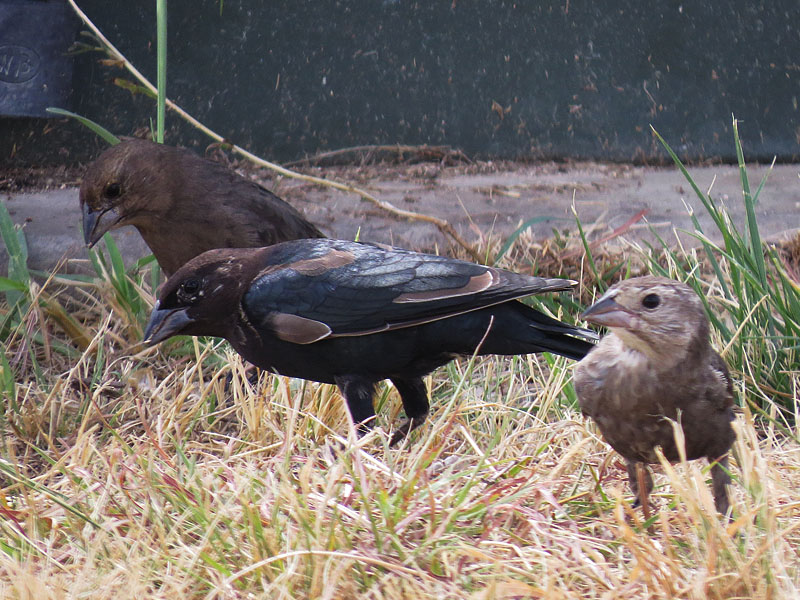 An oddly colored male cowbird with a female and a juvenile.